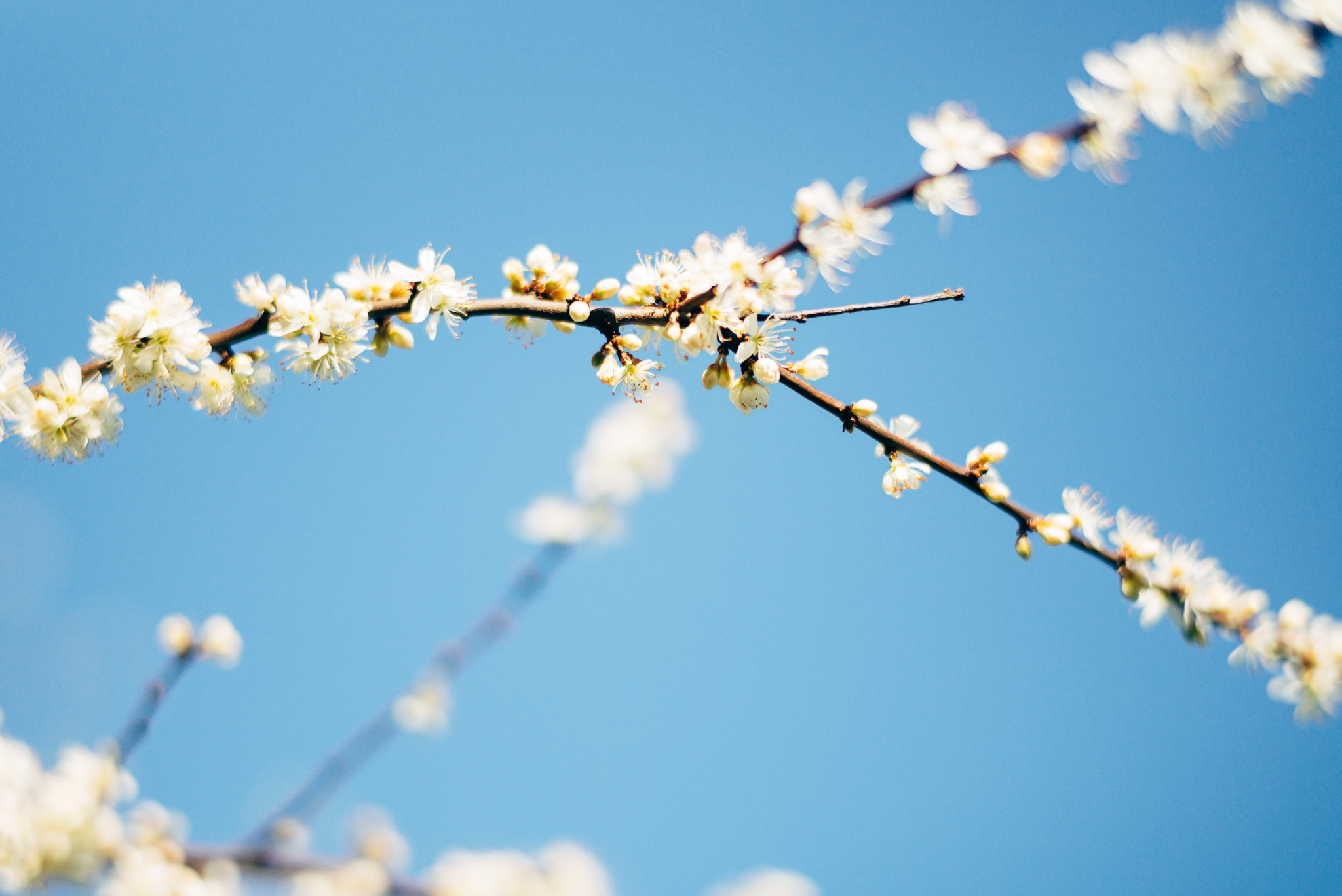 blossom_summilux_50mm_asph
