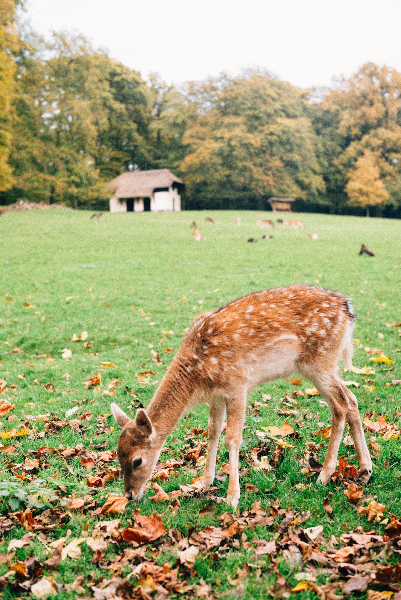 netherlands_sonsbeek_arnhem_deer_hert_park_leica_m240_50mm_summilux_autumn